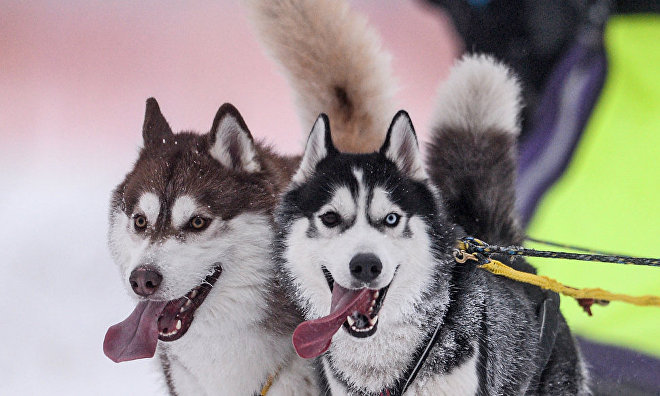 Airborne Force commandos learn to use dog sleds in Russian Arctic