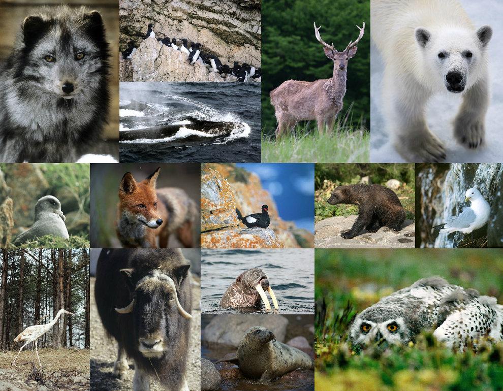 Коллаж про арктических животных