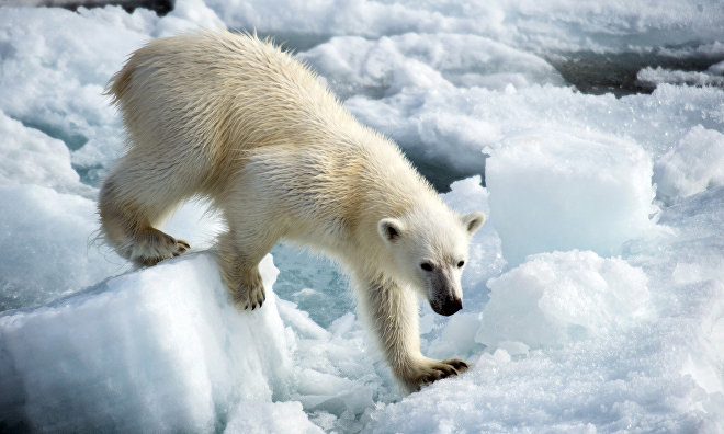 Russian and American scientists count Chukotka polar bears