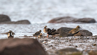 Predator challenge to Arctic bird reproduction to be studied in the Yamal-Nenets Autonomous Area