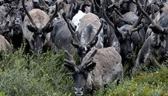 В Ненецком округе начинаются зооветеринарные работы