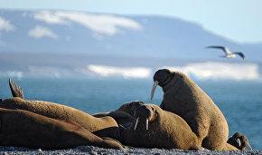 На Ямале в 2020 году расчистят захламлённое лежбище моржей