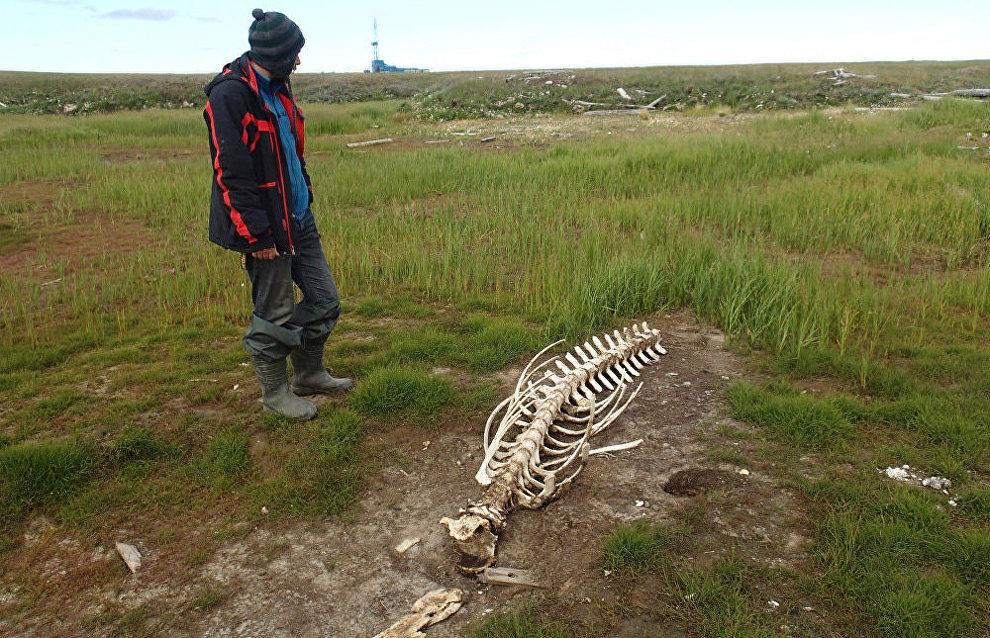 White whale skeleton in Yamal