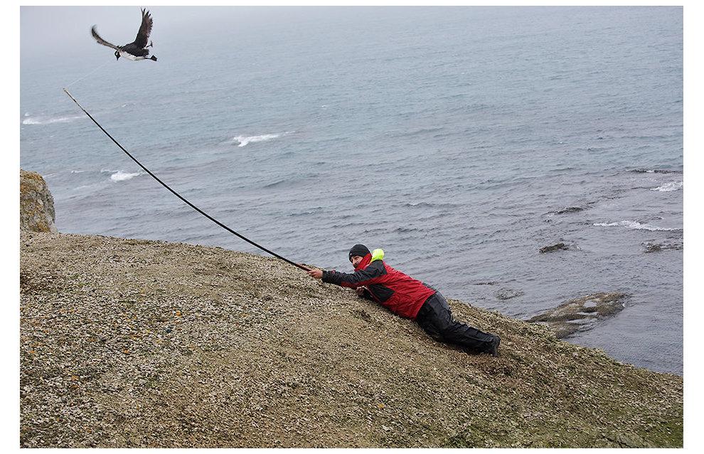 Зоолог Мирослав Бабушкин ловит кайр, чтобы закрепить на них логгеры – устройства, позволяющие отследить местоположение и перемещение птиц