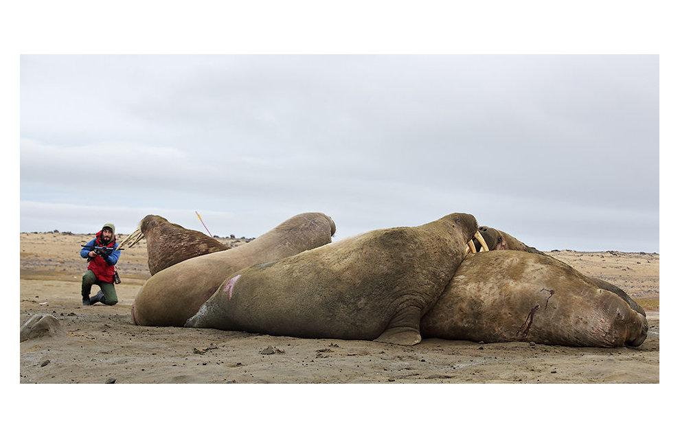 Зоолог Мирослав Бабушкин берёт образцы кожи моржей для биопсии на острове Хейса. Сам процесс взятия кусочка кожи и жира для животных практически безболезненный, все равно, что для человека укус комара