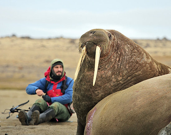 Zoologist Miroslav Babushkin collects walrus skin biopsy samples on Heiss Island. Biopsy samples from 11 walruses were collected during two hours