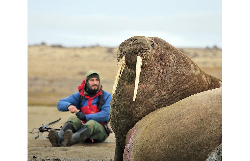 Зоолог Мирослав Бабушкин берёт образцы кожи моржей для биопсии на острове Хейса.  За два часа работы удалось получить образцы биопсии от 11 моржей