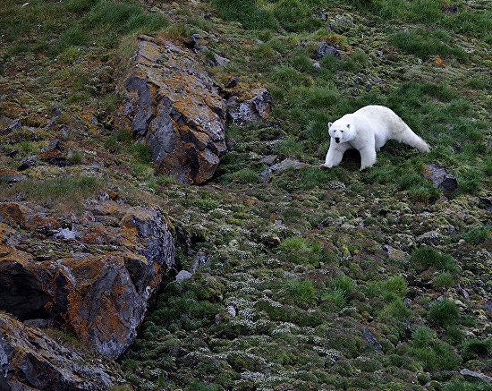 A polar bear on Franz Josef Land