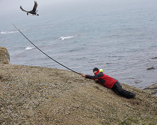 Zoologist Miroslav Babushkin catches guillemots to attach transceiver to track location and migration patterns