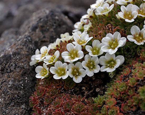 Tufted saxifrage (Saxifraga caespitosa), Leigh-Smith Island