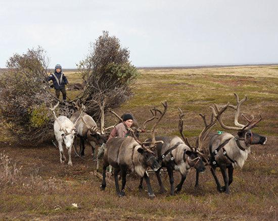 Оленеводческая община полуострова Канин