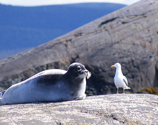 A bearded seal and a herring gull