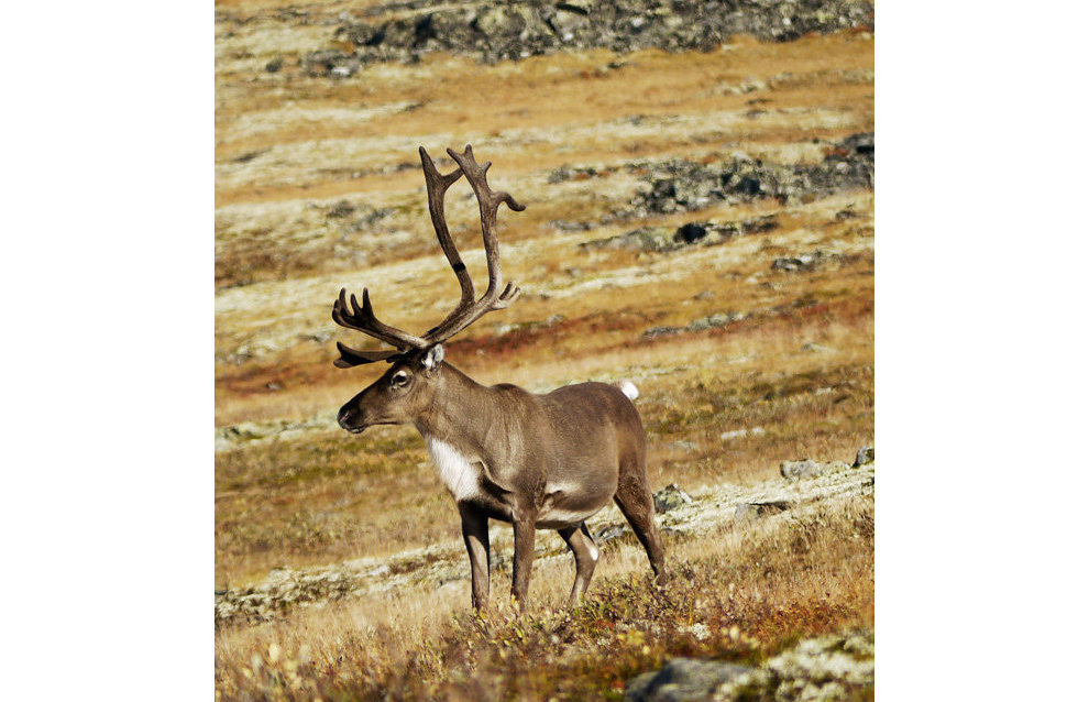 Wild reindeer (Rangifer tarandus)