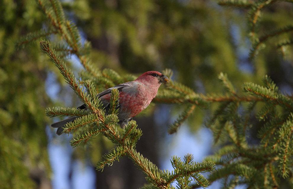 Grosbeak (Pinicola)