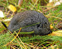 Wood lemming (Myopus schisticolor)