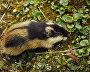 Norway lemming (Lemmus lemmus)