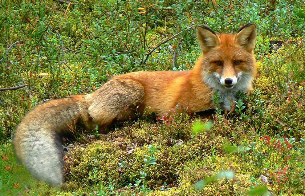 Yamal researchers monitor migration of foxes in the Arctic