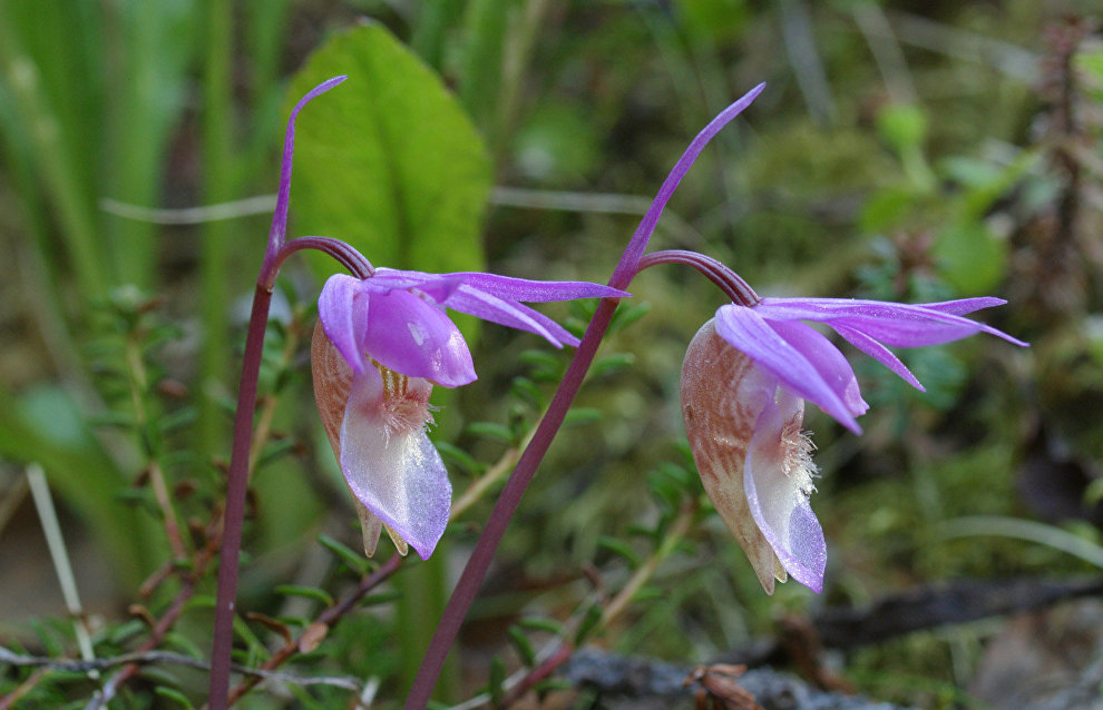 Calypso orchid (Calypso bulbosa)