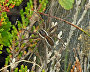 Raft spider in a nest (Dolomedes fimbriatus)