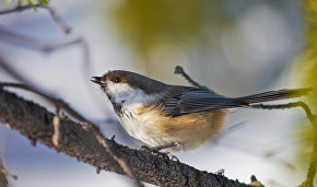 Grey-headed chickadee (Poecile cinctus)