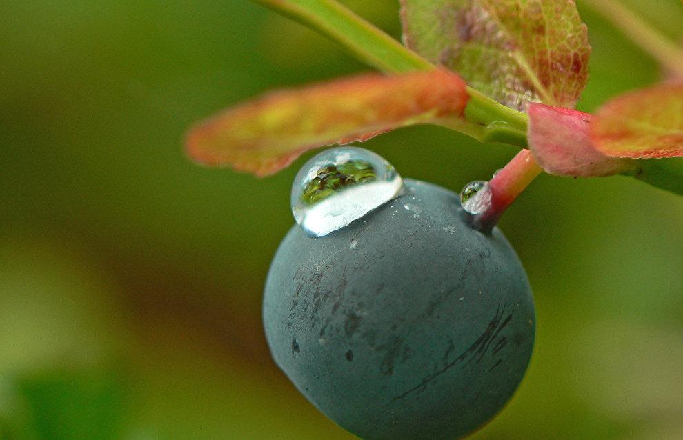 Bilberry (Vaccínium myrtíllus)