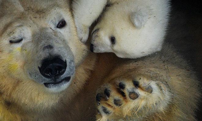 Bear cub saved on Wrangel Island