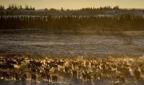 Over 120,000 reindeer inoculated against anthrax