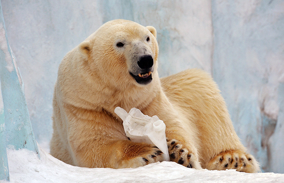 В якутском зоопарке белая медведица родила медвежонка
