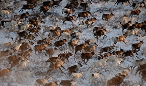 Satellite collars to help track reindeer herds in Nenets Autonomous Area