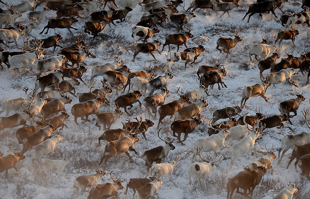 Yakutia bans tundra hare and reindeer hunting