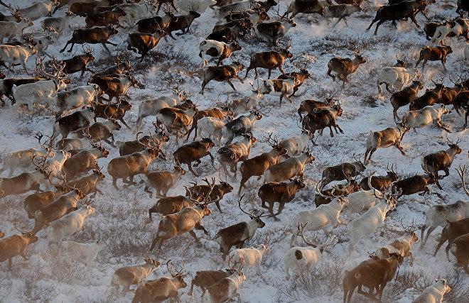 В Якутии вводится запрет охоты на зайца-беляка и дикого северного оленя
