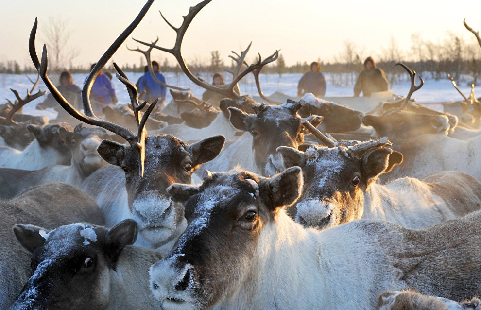 Yamal to spend 782 million rubles in reindeer-breeding subsidies