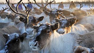 На Ямале на поддержку оленеводства в 2017 году направят 782 млн рублей
