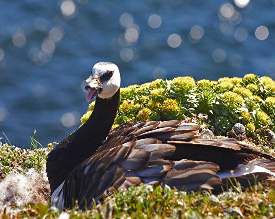 Казарка – один из многих видов, прилетающих на птичьи базары Новой Земли. 2016