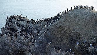 На некоторых скалах плотность птиц чрезвычайно высока. Новая Земля. 2016