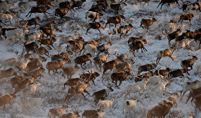 Диких оленей Арктики будут активно изучать в 2021 году