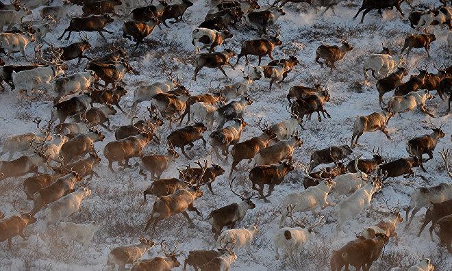 GPS transponders to track Yamal reindeer herds
