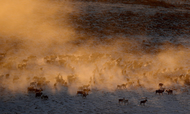 Scientists study reindeer grazing field for first time in winter