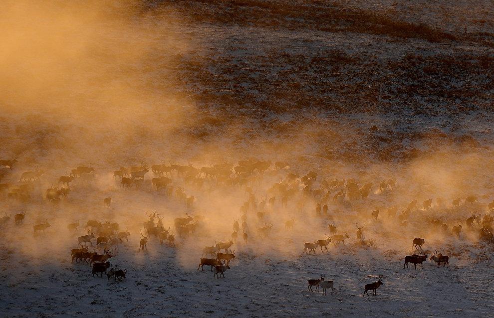 Учёные Ямала исследуют ледяную корку на севере региона, влияющую на выпас оленей