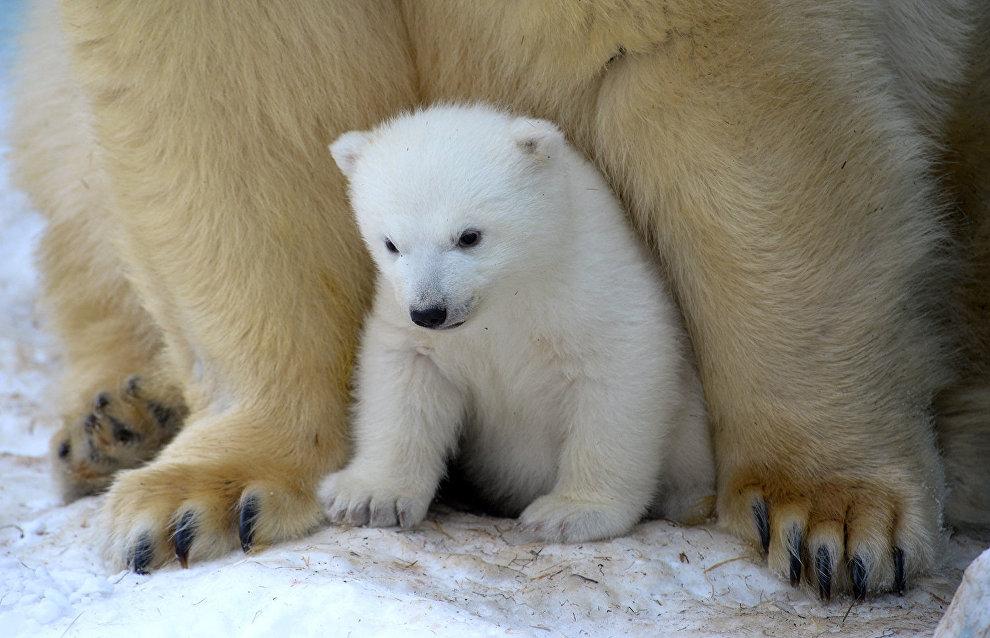 Young polar bear cub named Almaz