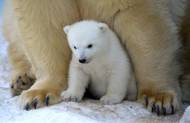 Для юного хозяина Арктики выбрали имя Алмаз