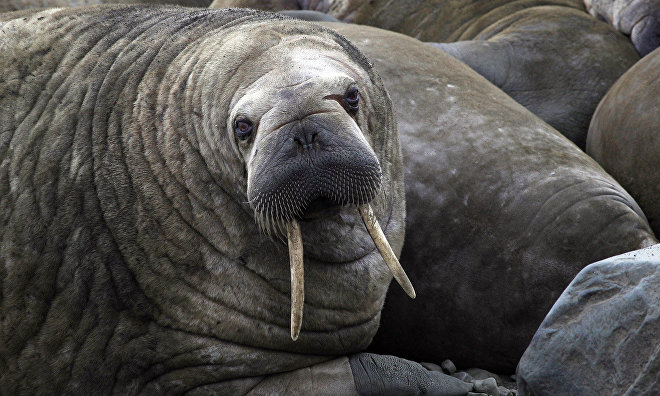 Efforts to protect walrus haulouts in Nenets Nature Reserve