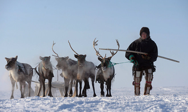 Taimyr may lack master reindeer herders in five years