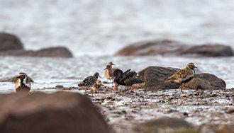 Китайские учёные примут участие в мониторинге редких арктических птиц на Ямале
