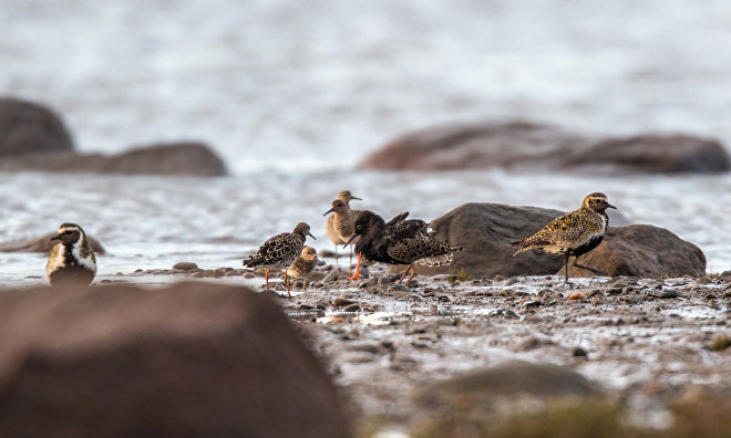 Chinese researchers to take part in monitoring rare Arctic birds in Yamal