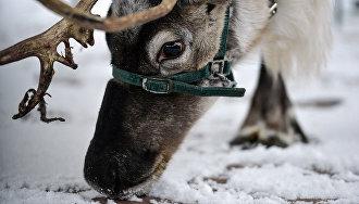 Всё поголовье северного оленя на Ямале будет чипировано и привито от сибирской язвы