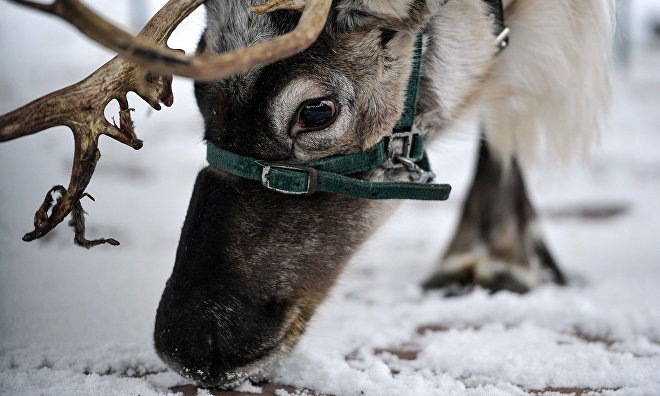 Yamal-Nenets veterinarians to establish the cause of death of 1,000 reindeer in the tundra