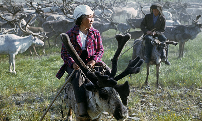 Russian and Canadian scientists to research history of domestic Arctic reindeer breeding