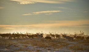 Drones to study Evenki reindeer