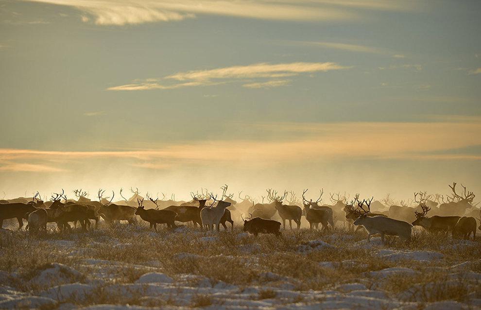 Reindeer calving season begins in Yamal
